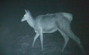 Night vision cameras capture images of wildlife in Chernobyl